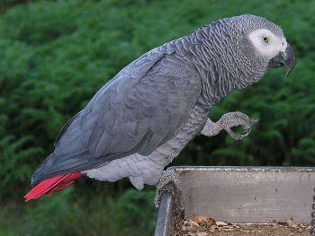 Loro Gris O Yaco Africano Papagayo de cola corta