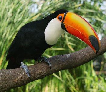 Tucan Toco Característica del ave