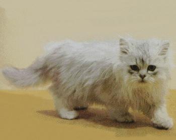 Gato Persa Chinchilla o Persa Plateado