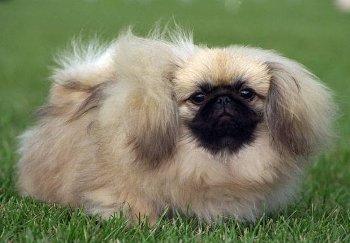 Cómo es el perro Pequines