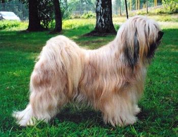 Raza Tibetan Terrier Peludo