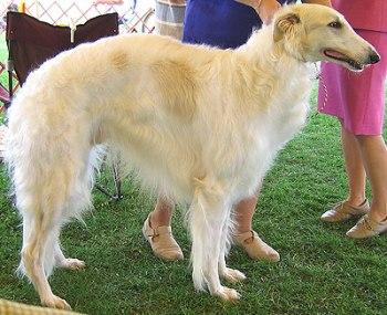 Raza de perros Borzoi