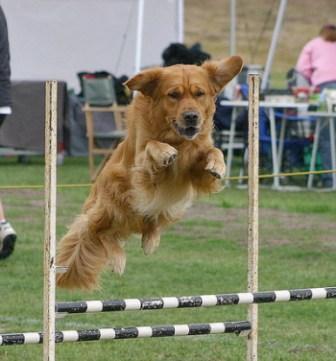 Conceptos Básicos de Preparación Física del Perro Atleta