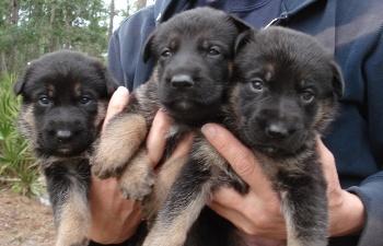 Como Escoger un Cachorro de Pastor Aleman