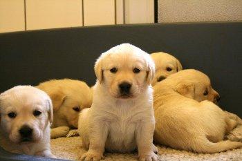 Donde Comprar un cachorro Labrador Retriever