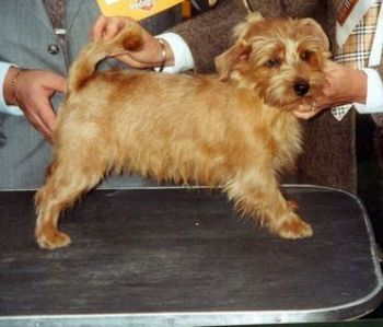 Perro Norwich Terrier o Terrier Miniatura