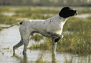 Perros de Caza Distintas razas de Muestra con fotos