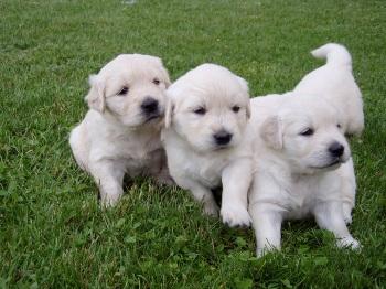 Donde Comprar un cachorro Golden Retriever