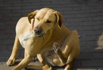 Cómo Combatir las Garrapatas de mi Perro