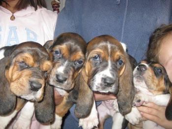 Donde Comprar un cachorro Basset Hound