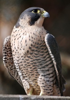 El Halcón Peregrino Aves de Chile