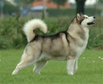 Husky Siberiano Características físicas
