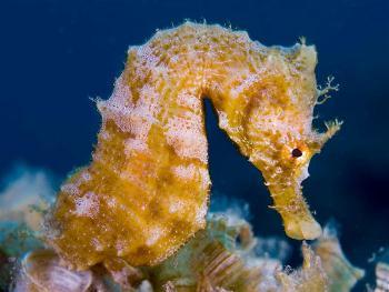 El caballito de Mar es un pez