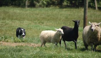 foto de perros ovejeros