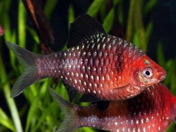 Pez Barbo de Cabeza Roja