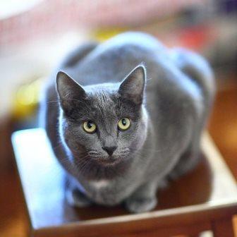 Características y descripción física del Gato Azul Ruso