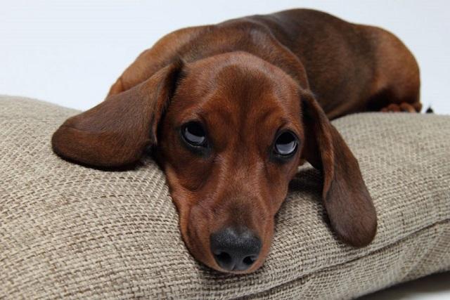 Demostrado tu perro podría estar celoso