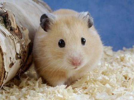 Cuidados y Alimentación del Hámster como Mascota