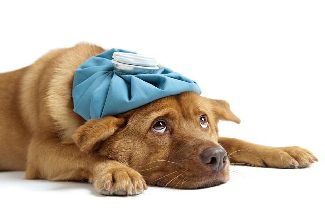Tu perro tiene fiebre