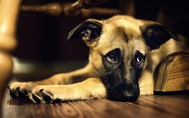 Enfermedad vestibular canina síntomas y tratamiento