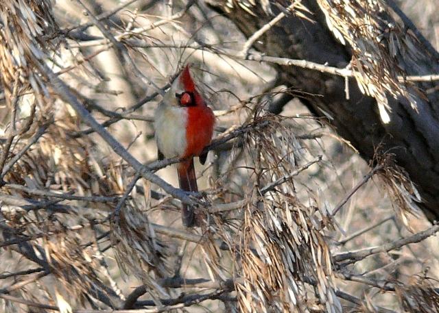 Halfsider un pájaro mitad hembra mitad macho