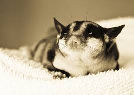 El petauro características de una mascota desconocida