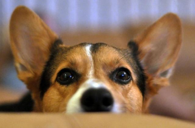 La otitis en los canes