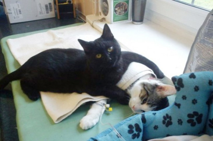 Rademenes el gato enfermero que cuida a los animales