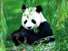 10 imágenes de osos pandas que te enamorarán