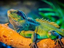 cuidados básicos de una iguana
