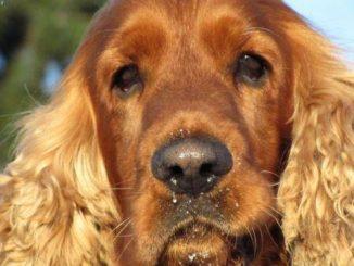 El moquillo canino: ¿Qué es y cómo controlarlo?