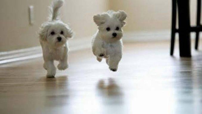 Te mostramos tres razas de perros que no pierden pelo