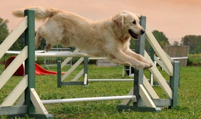 Tres Razas de Perros más Deportistas