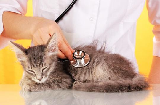 Enfermedades Renales en los Gatos - Síntomas y Tipos