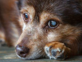 Cómo Tratar las Cataratas en los Perros