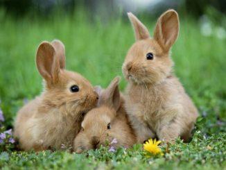 Período de gestación de un conejo