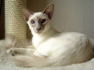Comportamiento del Gato Balinés