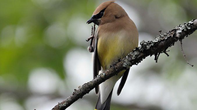 Cuales son los Parásitos Externos mas Comunes en las Aves