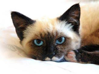 Características Físicas del Gato Siamés