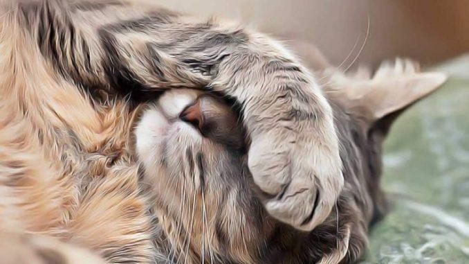 Que Hago si mi Gato Tiene Vomito