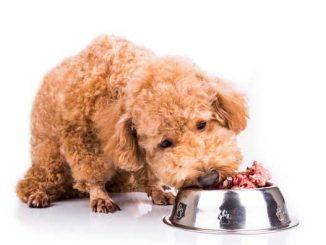 Cómo Alimentar un Caniche Enano