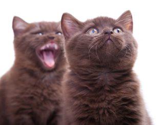 Características, Descripción y Fotos del Gato York Chocolate