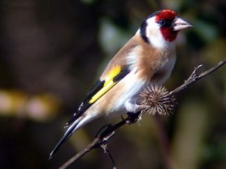 El Jilguero pájaro Euroasiático