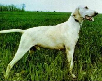 Billy raza de perros cazadores