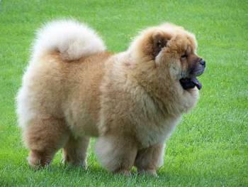 Chow Chow llamado también perro león
