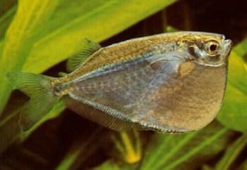 Peces hacha de peque o tama o for Peces para acuarios pequenos
