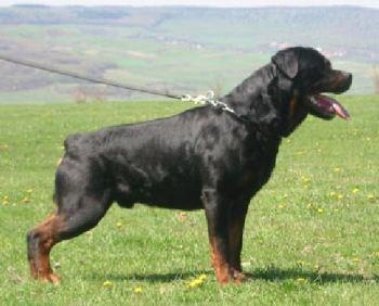 Cómo es el perro Rottweiler