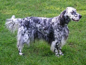 Foto de perro raza setter ingles
