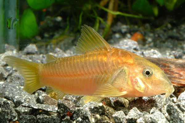 Foto de especies de peces tachuela limpiafondos mascota for Especies de peces