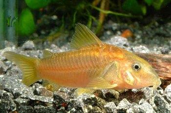 peces limpiafondos acuario mascota dom stica